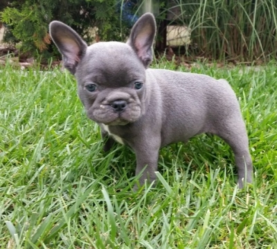 Dogs for sale at Babaad a free worldwide classified